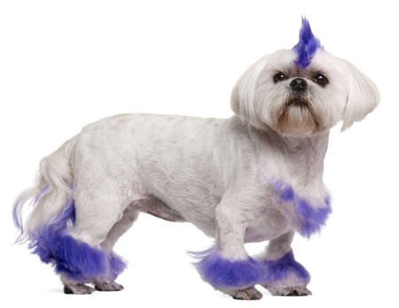 Shih Tzu with purple mohawk, 2 years old, standing in front of white background photo