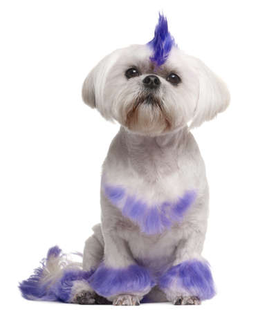 shih: Shih Tzu with purple mohawk, 2 years old, sitting in front of white background Stock Photo