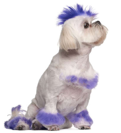 Shih Tzu with purple mohawk, 2 years old, sitting in front of white background photo