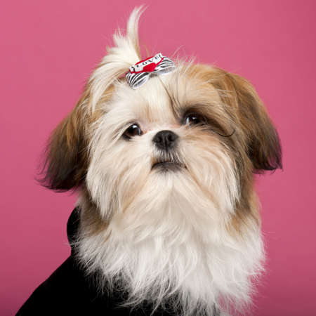Close-up of Shih Tzu, 5 months old, in front of pink background photo