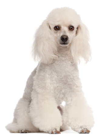 2 years old: Poodle, 2 years old, sitting in front of white background