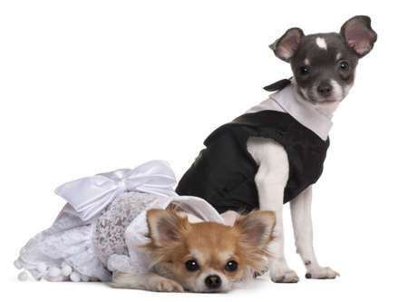 Two Chihuahuas dressed-up in front of white background photo