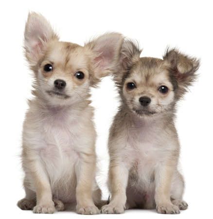 chihuahua 3 months old: Chihuahua puppies, 3 months old, sitting in front of white background