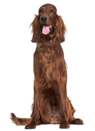 1 year old: Irish Setter, 1 year old, sitting in front of white background Stock Photo