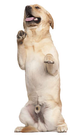 Labrador Retriever standing on hind legs, 2 years old, in front of white background photo