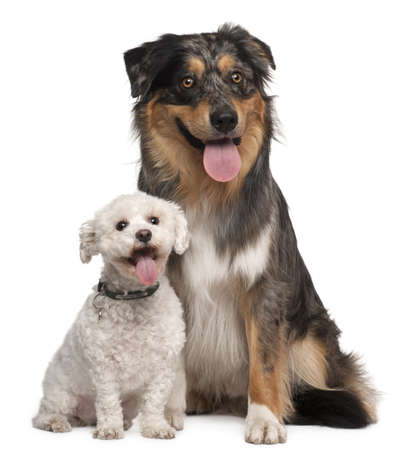 Australian Shepherd dog, 17 months old, 8 years old, sitting in front of white background photo