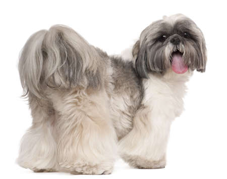 shih tzu: Shih Tzu panting, 2 years old, in front of white background