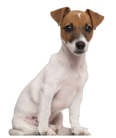 Jack Russell Terrier puppy, 3 months old, sitting in front of white background photo