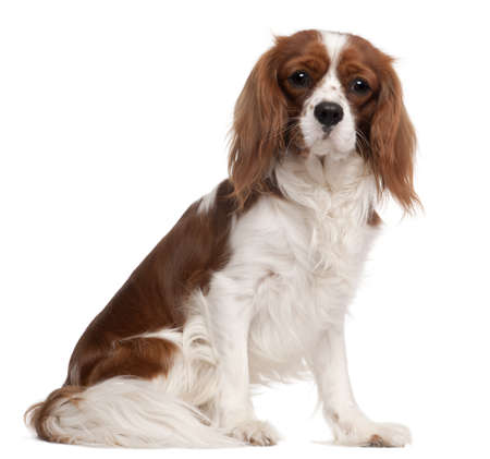 Cavalier King Charles Spaniel, 1 year old, sitting in front of white background photo