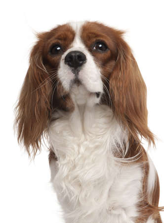 Close-up of Cavalier King Charles Spaniel, 1 year old, in front of white background Stock Photo - 9778998