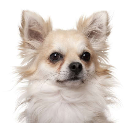 Close-up of Chihuahua, 2 years old, in front of white background photo
