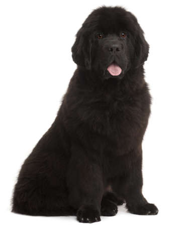 black and white newfoundland dog: Newfoundland puppy, 5 months old, sitting in front of white background