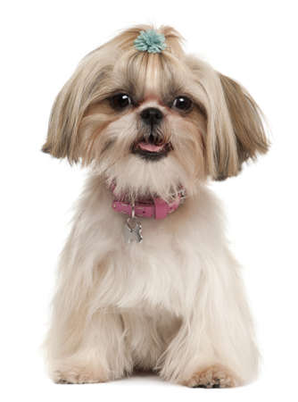 shih tzu: Shih Tzu, 1 year old, sitting in front of white background