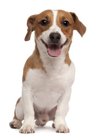 animal tongue: Jack Russell Terrier, 1 anno di et�, seduto di fronte a sfondo bianco