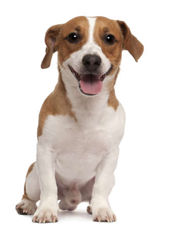 animal tongue: Jack Russell Terrier, 1 year old, sitting in front of white background Stock Photo