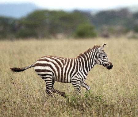 Cebra en Parque Nacional Serengeti, Tanzania, África