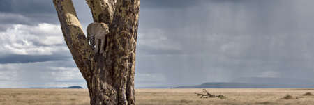 Leopard in tree in Serengeti National Park of Tanzania, Africa photo