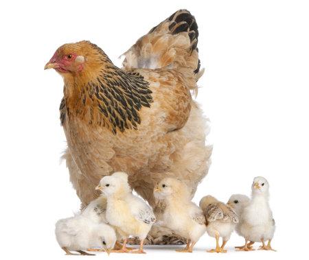 pollitos: Brown Brahma gallina y sus polluelos delante de un fondo blanco Foto de archivo