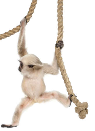primate: Young Pileated Gibbon, 4 months old, Hylobates Pileatus, hanging from rope in front of white background