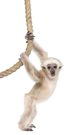 gibbon: Young Pileated Gibbon, 4 months old, Hylobates Pileatus, hanging from rope in front of white background