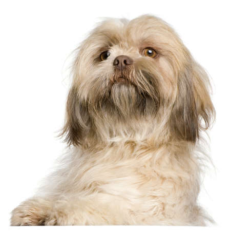 shih tzu: Close-up of Shih Tzu, 3 years old, in front of white background Stock Photo