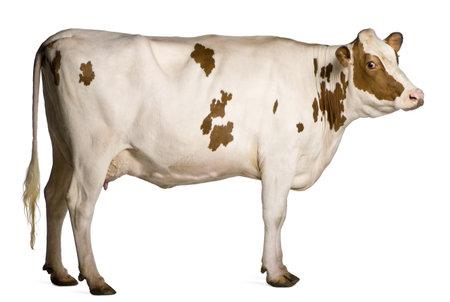 vaca: Holstein vaca, 4 a�os de edad, de pie delante de fondo blanco Foto de archivo