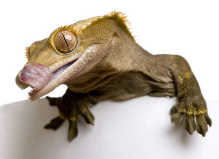 crested gecko: New Caledonian Crested Gecko, Rhacodactylus ciliatus, licking his mouth in front of white background Stock Photo