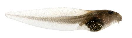 renacuajo: La rana com�n, Rana temporaria renacuajo con branquias internas, tres semanas despu�s de la eclosi�n, delante de fondo blanco Foto de archivo