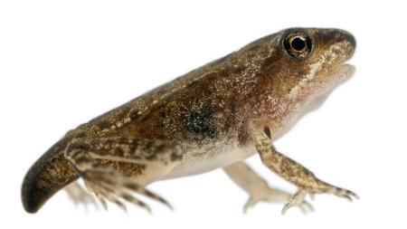 metamorfosis: La rana com�n, Rana temporaria, la metamorfosis j�venes a las 14 semanas, delante de fondo blanco