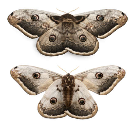 The largest European Moth, the Giant Peacock Moth, Saturnia pyri, in front of white background photo