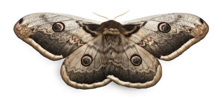 moths: The largest European Moth, the Giant Peacock Moth, Saturnia pyri, in front of white background Stock Photo