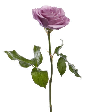 purple rose: Rose, Rosa aqua, in front of white background Stock Photo