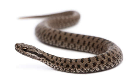 slithering: Common European adder or common European viper, Vipera berus, in front of white background