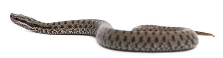Common European adder or common European viper, Vipera berus, in front of white background photo
