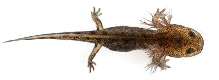 salamandra: Gran ángulo visión de larva de salamandra de fuego mostrando las branquias externas, Salamandra salamandra, delante de fondo blanco