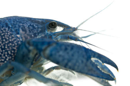 crustacea: Close-up of Blue crayfish also known as a Blue Florida Crayfish, Procambarus alleni, in front of white background Stock Photo