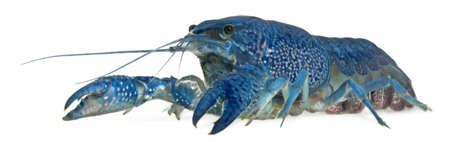 crustacea: Blue crayfish also known as a Blue Florida Crayfish, Procambarus alleni, in front of white background