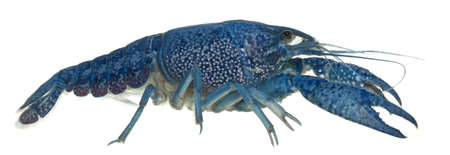 sea creature: Blue crayfish also known as a Blue Florida Crayfish, Procambarus alleni, in front of white background