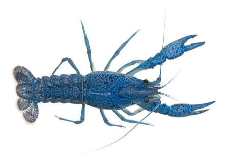High angle view of Blue crayfish also known as a Blue Florida Crayfish, Procambarus alleni, in front of white background photo