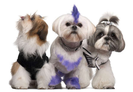 grooming: Group of dressed and groomed Shih-tzus in front of white background Stock Photo