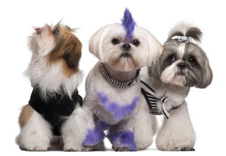 perros vestidos: Grupo de vestido y mantuvieron Shih-tzu de fondo blanco