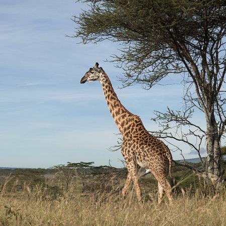 Giraffe at the Serengeti National Park, Tanzania, Africa photo