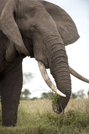 Elephant at the Serengeti National Park, Tanzania, Africa photo