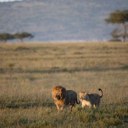 Lion and Lioness at the Serengeti National Park, Tanzania, Africa photo