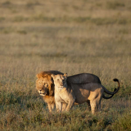 two animals: Lion and Lioness at the Serengeti National Park, Tanzania, Africa