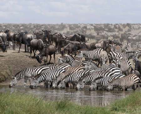 Zebras drinking at the Serengeti National Park, Tanzania, Africa Stock Photo - 10761584