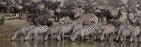 Zebras drinking at the Serengeti National Park, Tanzania, Africa photo