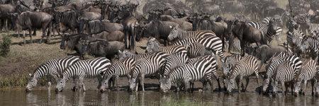 Zebras drinking at the Serengeti National Park, Tanzania, Africa Stock Photo - 10761531