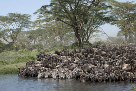 Herds of wildebeest at the Serengeti National Park, Tanzania, Africa photo