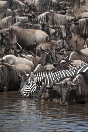 Wildebeest and Zebras at the Serengeti National Park, Tanzania, Africa photo
